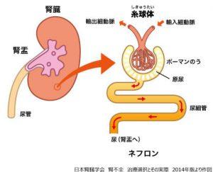画像:腎臓